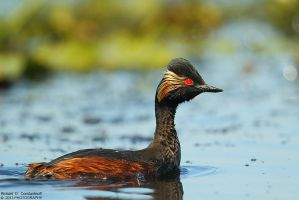 Podiceps nigricollis by RichardConstantinoff