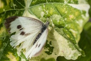 Raggedy Cabbage White by FlutStop