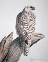 Gyrfalcon by PickedPockets