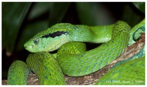 Palm Viper by ST77