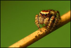 jumping spider by Tamyl91