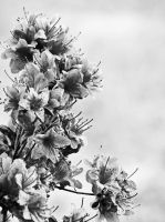 Azalea Grey Scale by XSilentSymphonyX