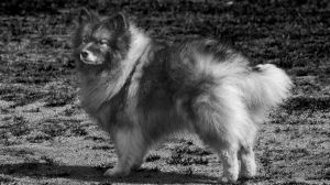 Keeshond for you by shantasphotos