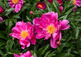 Magenta Peonies by muffet1