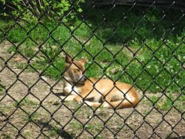 New Guinea Singing Dog by Fireborn46