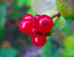 Small berries by lonewonderer