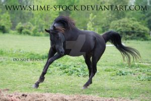black arabian canter head tucked in by slime-stock