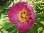Banatic peonia by mossagateturtle