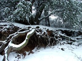 Snow and mossy roots by Meadowknight