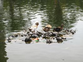 Ducks and Turtles by Brunch-with-HotChoco