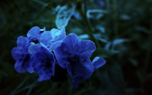 Blue Violet by altheaIN