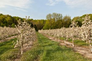 Young Apple Orchard in Bloom by starfire777