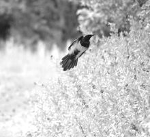 Magpie 9483 by filmwaster