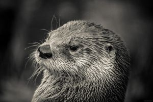 River Otter by biohazardfan