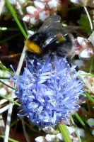 Godrevy Cornwall - Bumble by lou250blue