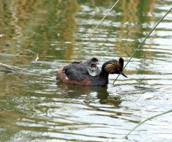 Eared Grebe and babies by sgt-slaughter