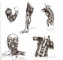 Male Anatomy: Muscles by TabathaZee