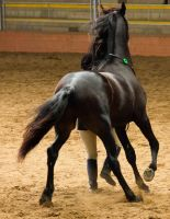 STOCK - 2014 Andalusian Nationals-224 by fillyrox