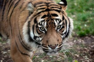 The Sumatran tiger (Panthera tigris sumatrae) by DjjFoto