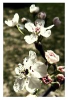 Bradford Pear by sees2moons
