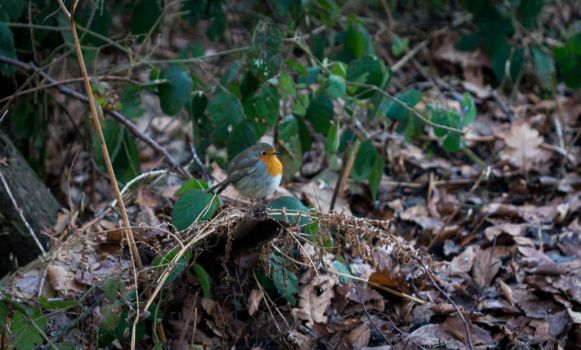 Erithacus rubecula by VohuManah