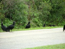 Black Vultures 044 by TheGreatWiseAss