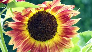 macro sunflower by xxtasiaxx