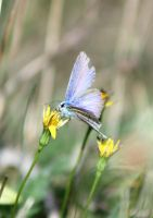 Common blue by JetteReitsma