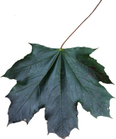 Maple Leaf PNG 01 by Thy-Darkest-Hour
