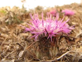 Ground Thistle II by Maltese-Naturalist