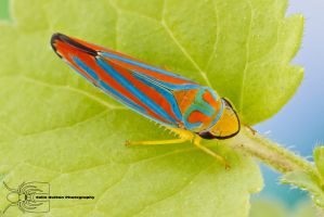Red-banded leafhopper - Graphocephala coccinea by ColinHuttonPhoto