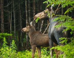 Moose - Mother and Calf by MJP67