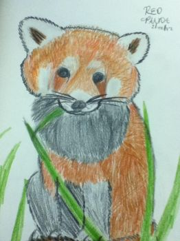 Red Panda Colored Drawing by Firestar1799