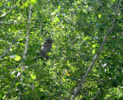 Barred owl in the woods by djaax
