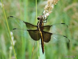 Dragonfly. by ThunderhillPaints