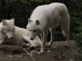 North American Arctic Wolf 19 by animalphotos