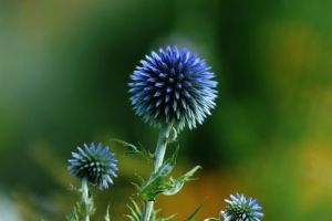 thistle by RachaelXIII