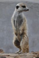 Meerkat - stock by kridah-stock