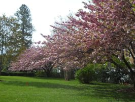 Cherry Trees on a Lawn by Urceola