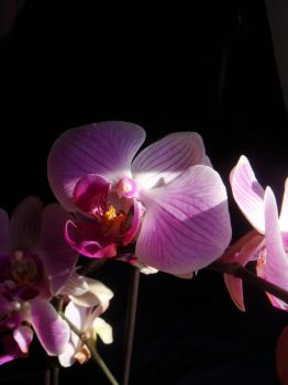 Orchids II by midnite-silver