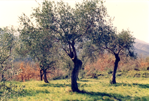 *OLIVIERS - OLIVE TREES by JFBAYLE