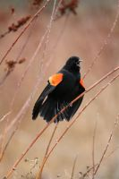 Red-winged Blackbird Display by davidst123