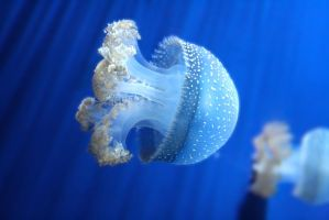 jellyfish by adjacency