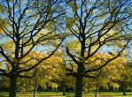 Maple Tree Branch Autumn Stereo by aegiandyad