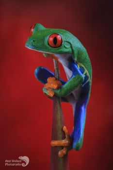 Red eyed tree frog climbing by AngiWallace