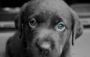 Labrador puppy by Thelema001