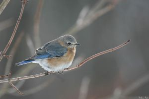 Winter Bluebird by mydigitalmind
