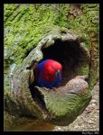 Eclectus Parrot 02 by DarthIndy