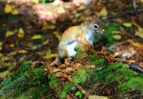 Stock: Chipmunk by Celem