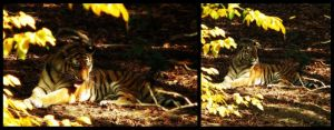 Tiger collage by Gia9